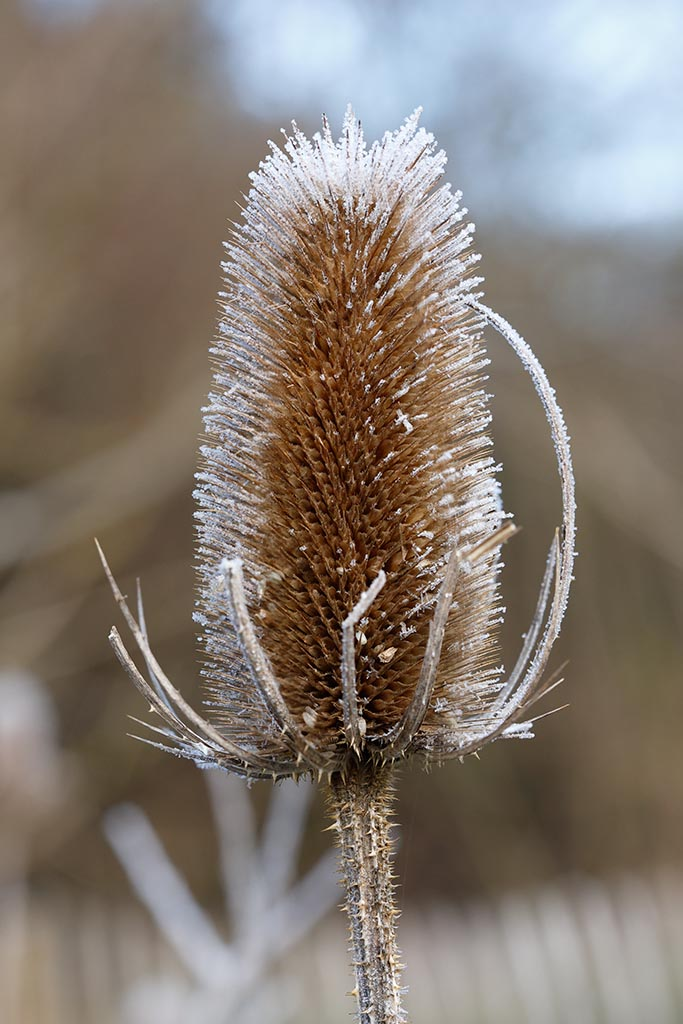 IMAGE: http://www.ware.myzen.co.uk/GalleryPics/Photos/Flora/flora%206D%20Frosty%20Teasel%20A_16-01-19_001-02.jpg