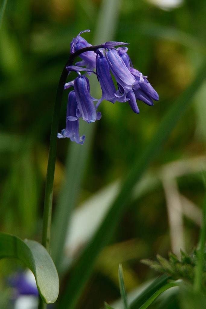 IMAGE: http://www.ware.myzen.co.uk/GalleryPics/Photos/Flora/flora%20Bluebell%20A_001_24-04-17.jpg