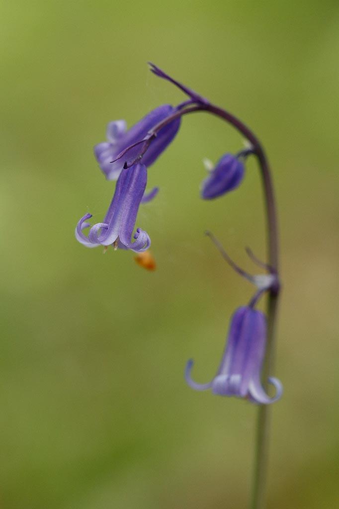 IMAGE: http://www.ware.myzen.co.uk/GalleryPics/Photos/Flora/flora%20Bluebell_002_24-04-17.jpg