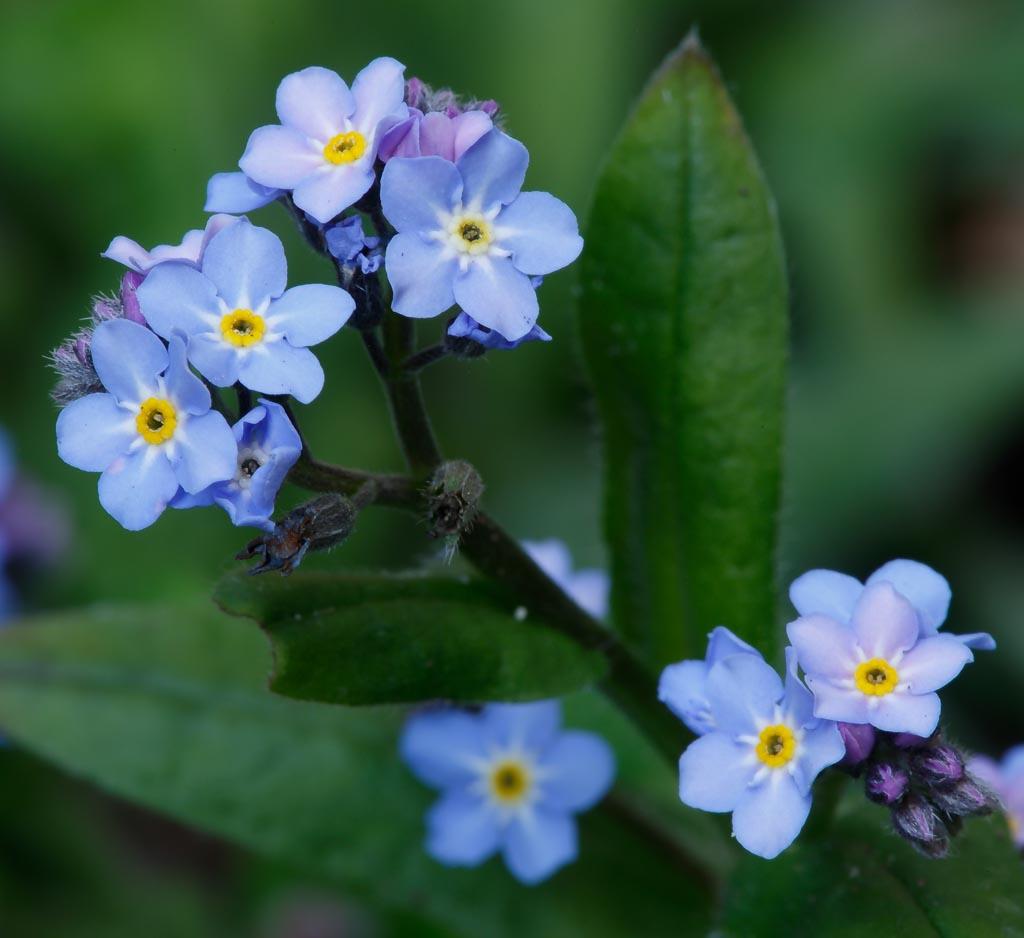 IMAGE: http://www.ware.myzen.co.uk/GalleryPics/Photos/Flora/flora%20Forget-me-not%20A_001_03-04-20.jpg