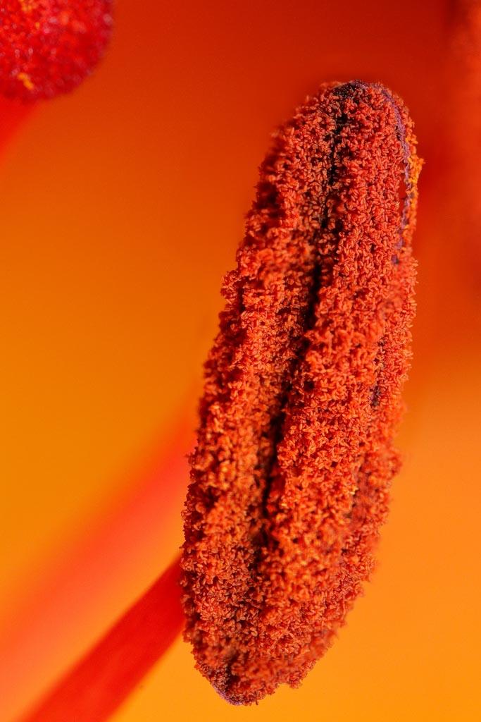 IMAGE: http://www.ware.myzen.co.uk/GalleryPics/Photos/Flora/flora%20Lily%20Stamen%20A01_001-05_30-06-19.jpg