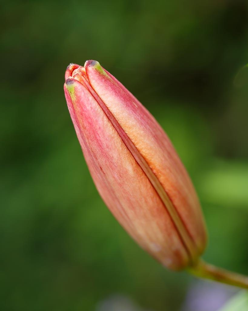 IMAGE: http://www.ware.myzen.co.uk/GalleryPics/Photos/Flora/flora%20Lily%20bud_001_28-06-19.jpg