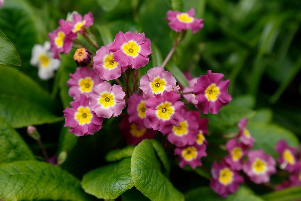 IMAGE: http://www.ware.myzen.co.uk/GalleryPics/Photos/Flora/flora%20Primula%20A01_001_17-04-18.jpg