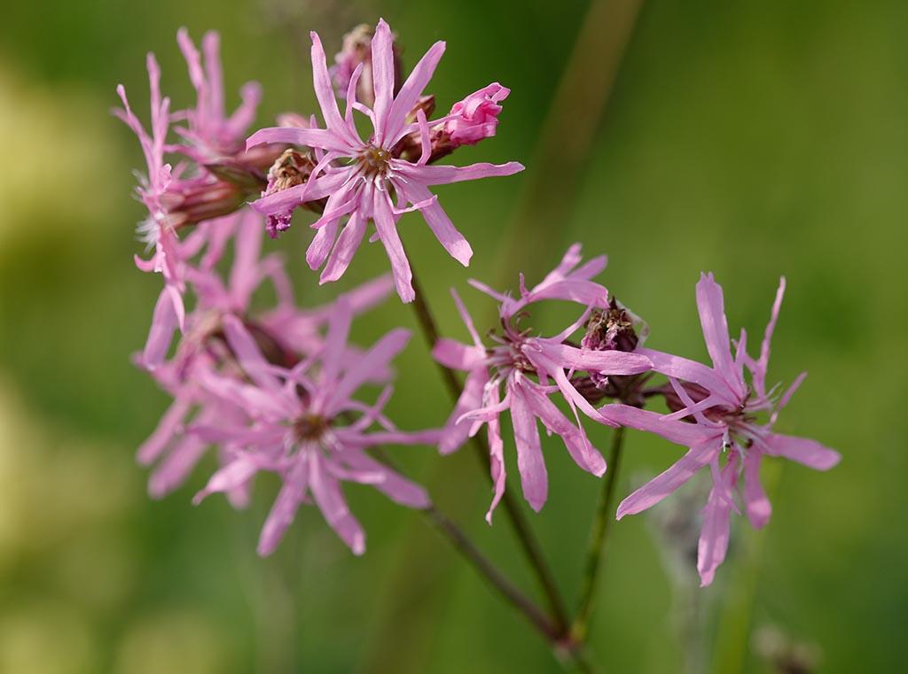 IMAGE: http://www.ware.myzen.co.uk/GalleryPics/Photos/Flora/flora%20Ragid%20Robin%20A_001_28-05-17.jpg