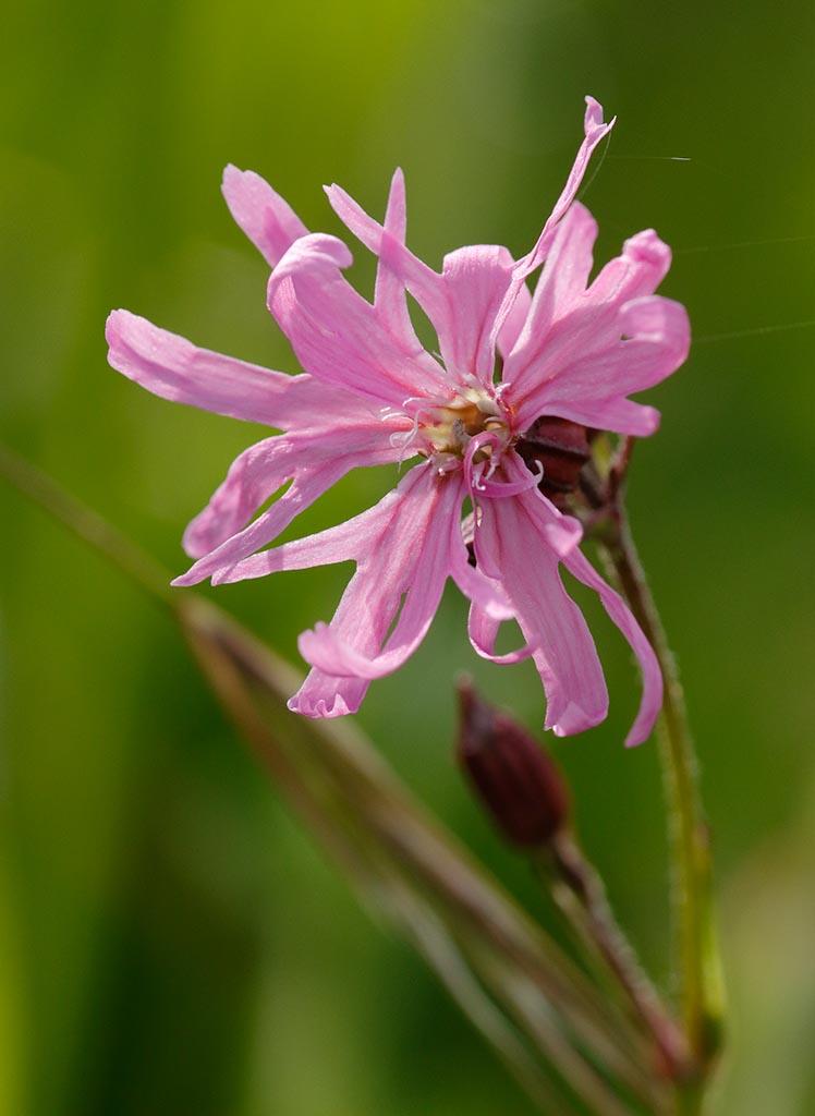 IMAGE: http://www.ware.myzen.co.uk/GalleryPics/Photos/Flora/flora%20Ragid%20Robin%20A_002_28-05-17.jpg