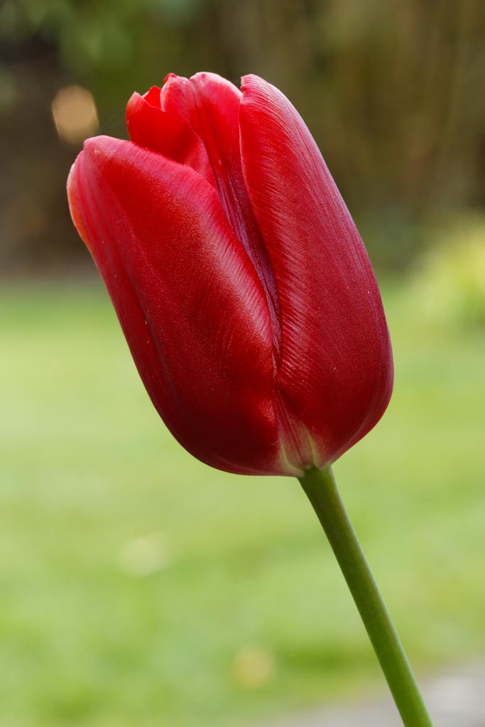 IMAGE: http://www.ware.myzen.co.uk/GalleryPics/Photos/Flora/flora%20Tulip%20A01_001_20-04-19.jpg