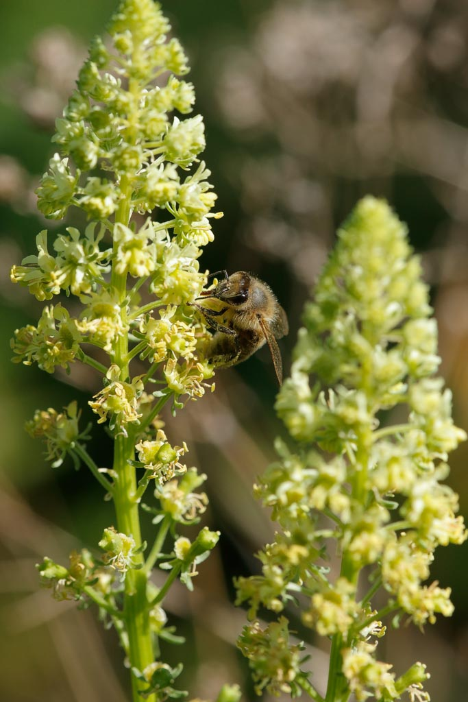 IMAGE: http://www.ware.myzen.co.uk/GalleryPics/Photos/Flora/flora%20Wild%20Mignonette%20Bee%20A01_001_30-05-20.jpg
