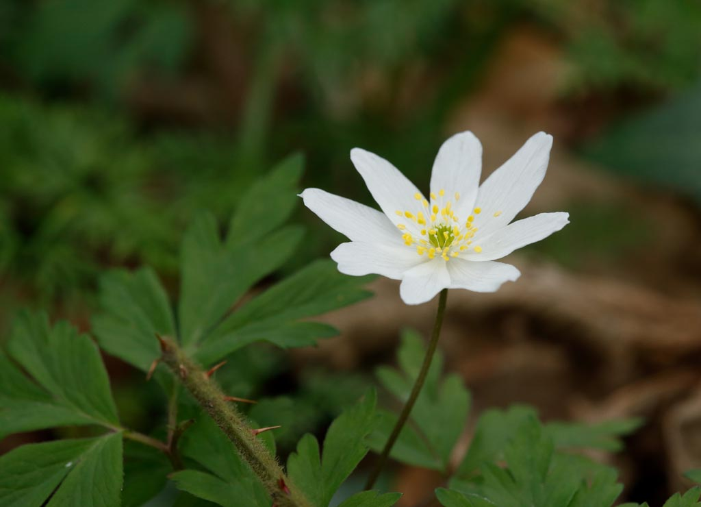 IMAGE: http://www.ware.myzen.co.uk/GalleryPics/Photos/Flora/flora%20Wood%20Anemone%20A02_001_17-04-18.jpg