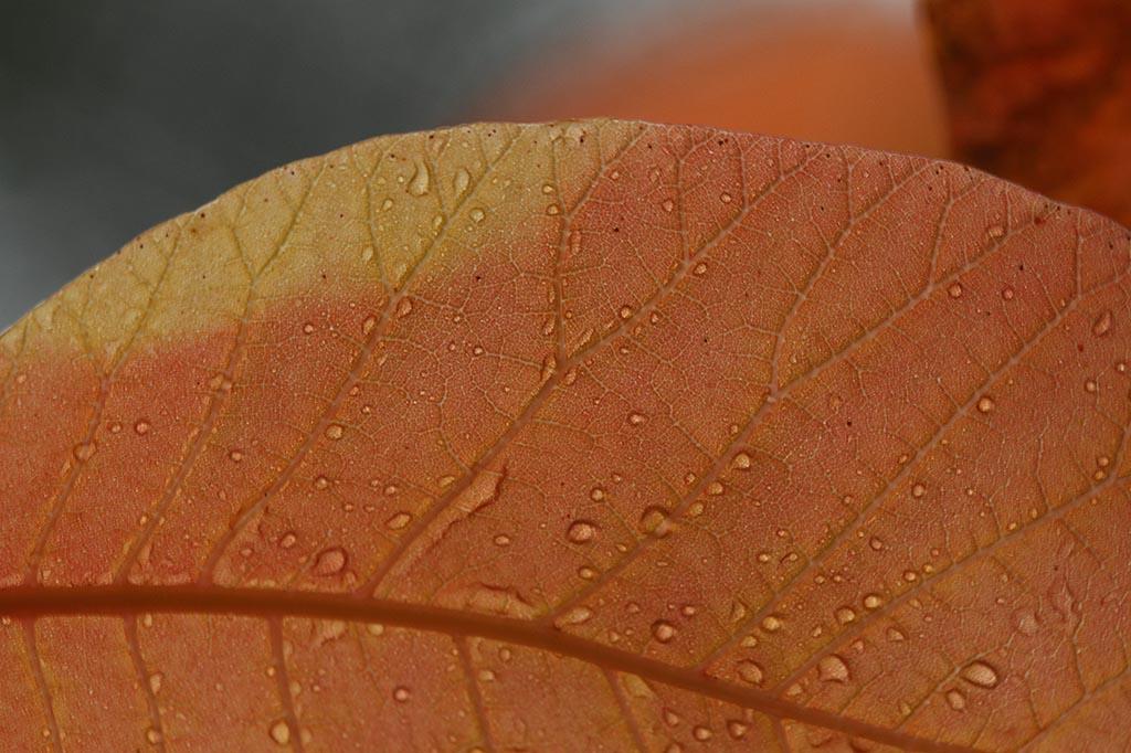 IMAGE: http://www.ware.myzen.co.uk/GalleryPics/Photos/Flora/flora%20autumn%20Leaf_009_05-11-11.jpg