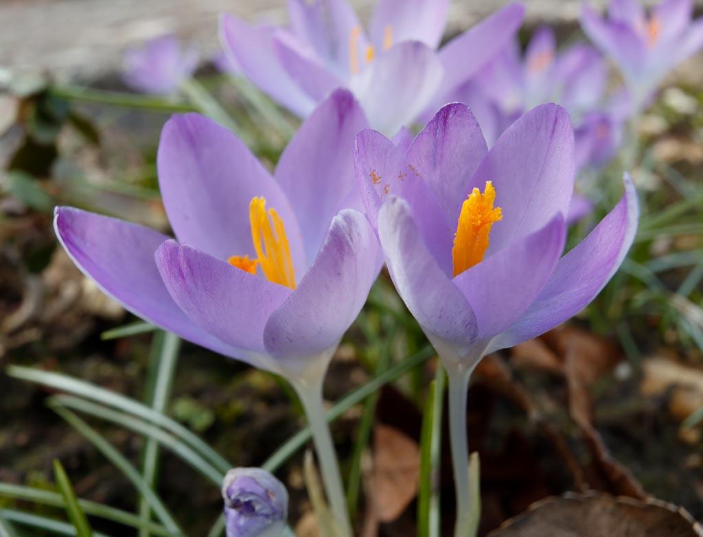 IMAGE: http://www.ware.myzen.co.uk/GalleryPics/Photos/Flora/flora%20crocus_003_23-02-19.jpg