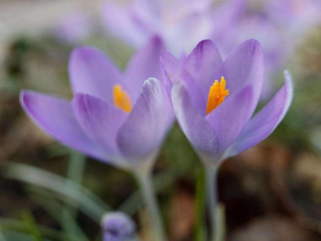 IMAGE: http://www.ware.myzen.co.uk/GalleryPics/Photos/Flora/flora%20crocus_004_23-02-19.jpg