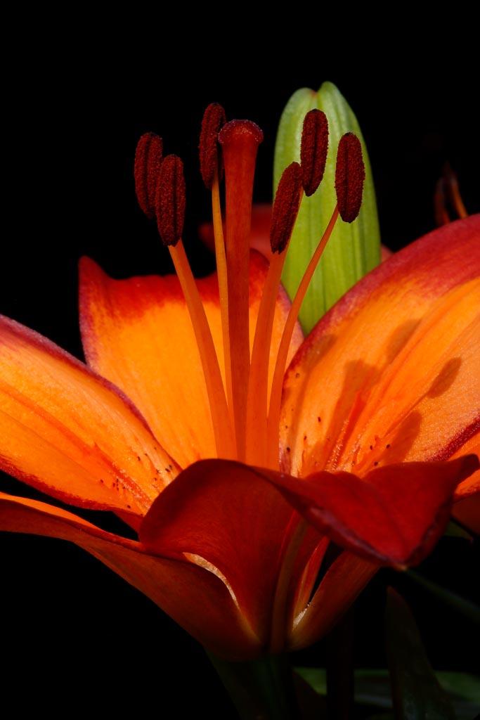 IMAGE: http://www.ware.myzen.co.uk/GalleryPics/Photos/Flora/flora%20lily%20A07_001_02-06-20.jpg