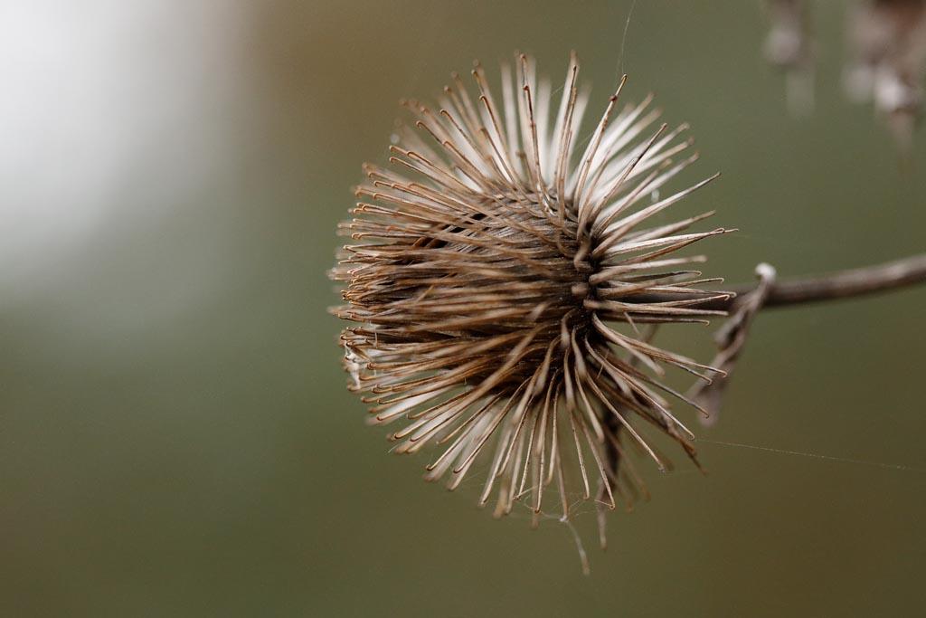 IMAGE: http://www.ware.myzen.co.uk/GalleryPics/Photos/Flora/flora%20seed%20Pod%20A01_001_05-01-19.jpg