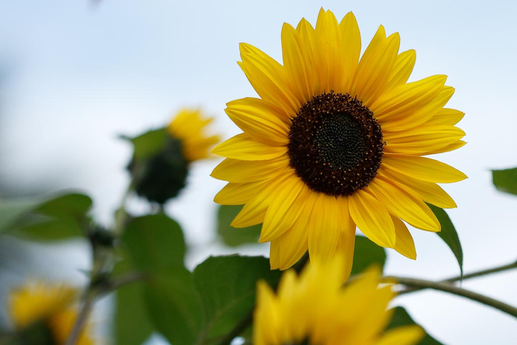 flora sunflower A01_001_10-09-18.jpg