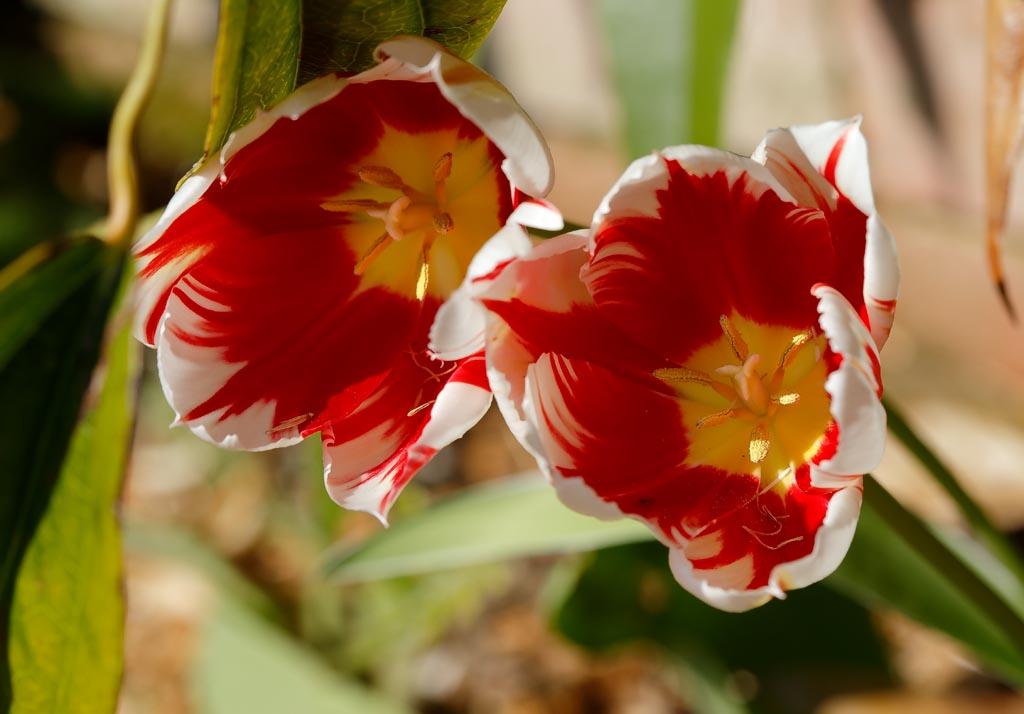 IMAGE: http://www.ware.myzen.co.uk/GalleryPics/Photos/Flora/flora%20tulip%20D01_001_20-04-19.jpg