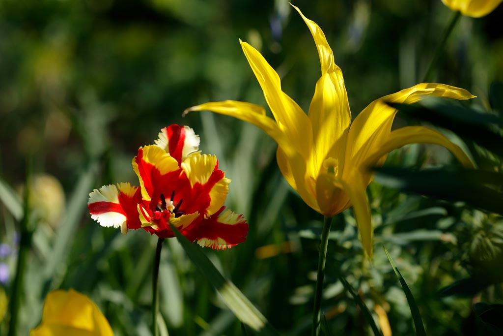 IMAGE: http://www.ware.myzen.co.uk/GalleryPics/Photos/Flora/flora%20tulip%20H01_002_20-04-19.jpg