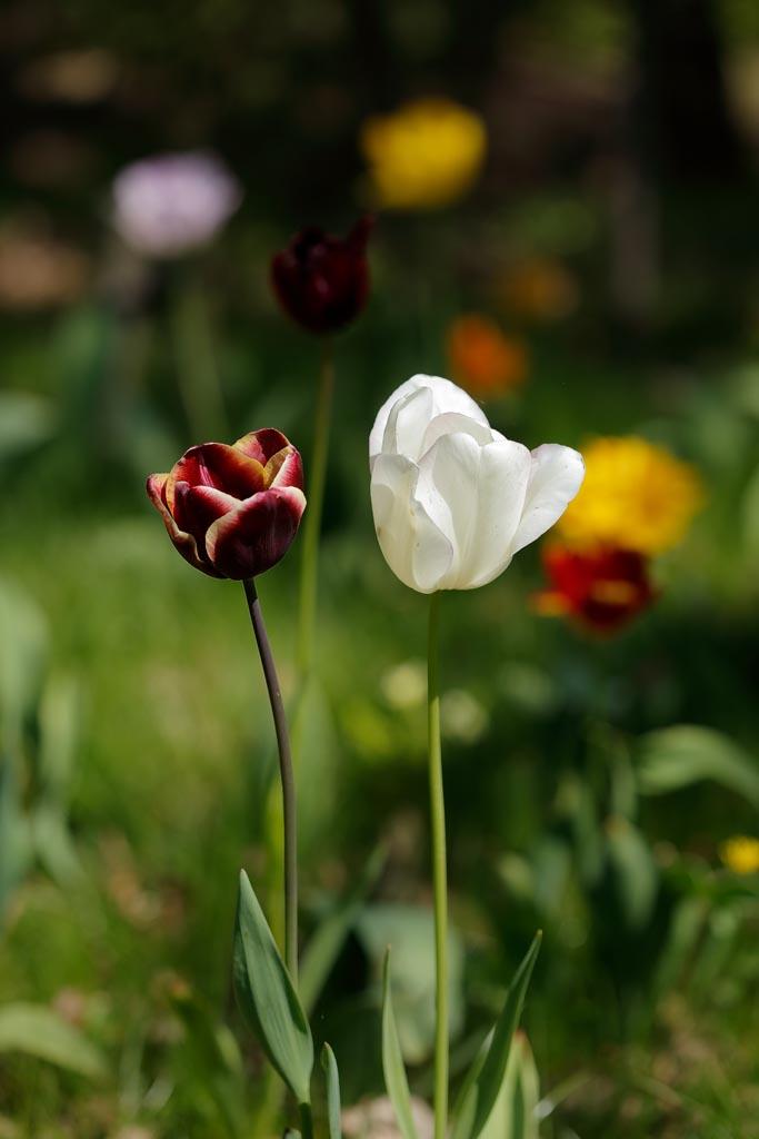 IMAGE: http://www.ware.myzen.co.uk/GalleryPics/Photos/Flora/flora%20tulip%20O01_001_20-04-19.jpg