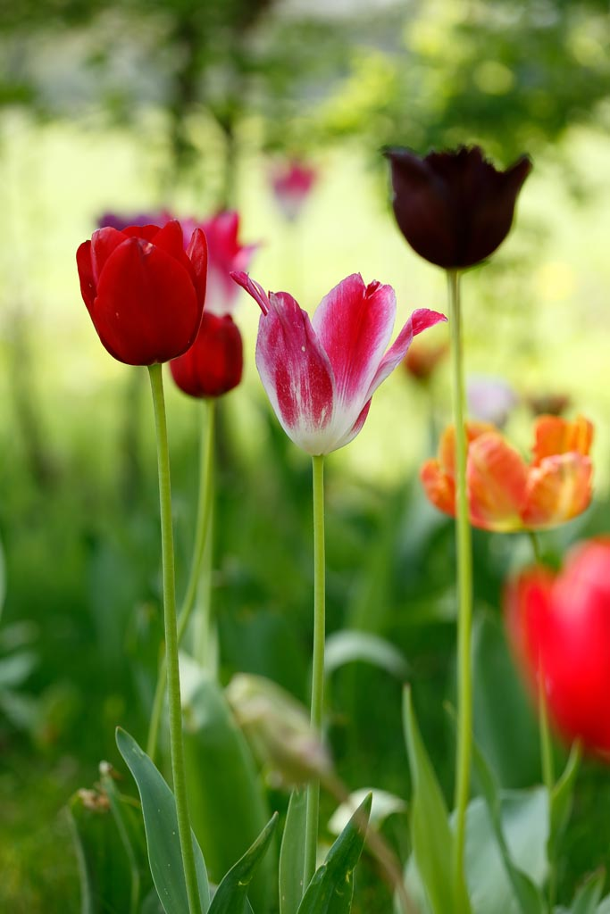 IMAGE: http://www.ware.myzen.co.uk/GalleryPics/Photos/Flora/flora%20tulip%20P01_001_20-04-19.jpg