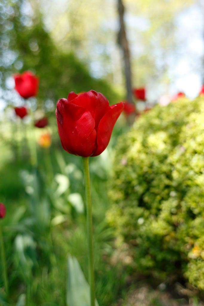 IMAGE: http://www.ware.myzen.co.uk/GalleryPics/Photos/Flora/flora%20tulip%20R01_001_20-04-19.jpg