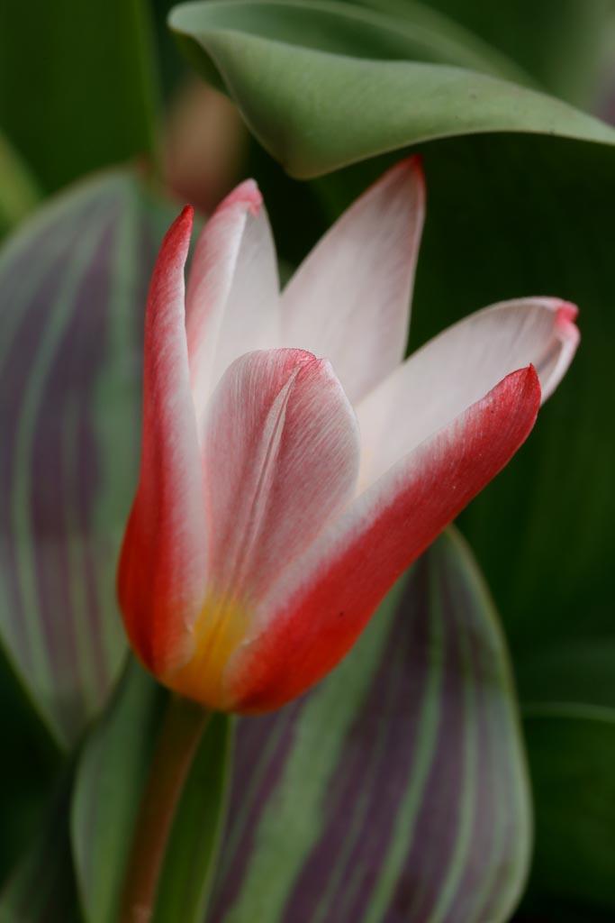 IMAGE: http://www.ware.myzen.co.uk/GalleryPics/Photos/Flora/flora%20tulip%20flower_002_09-03-19.jpg