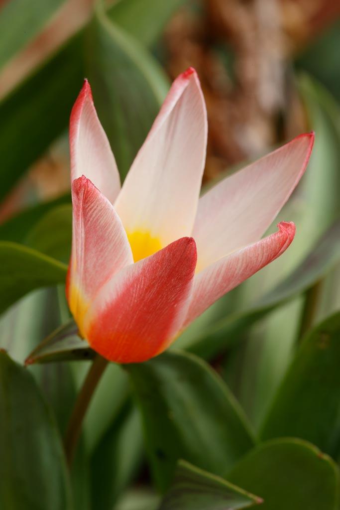 IMAGE: http://www.ware.myzen.co.uk/GalleryPics/Photos/Flora/flora%20tulip%20flower_004_09-03-19.jpg