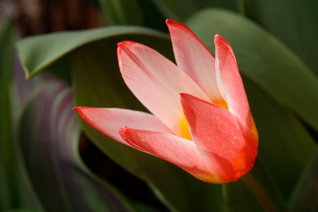 IMAGE: http://www.ware.myzen.co.uk/GalleryPics/Photos/Flora/flora%20tulip%20flower_013_09-03-19.jpg