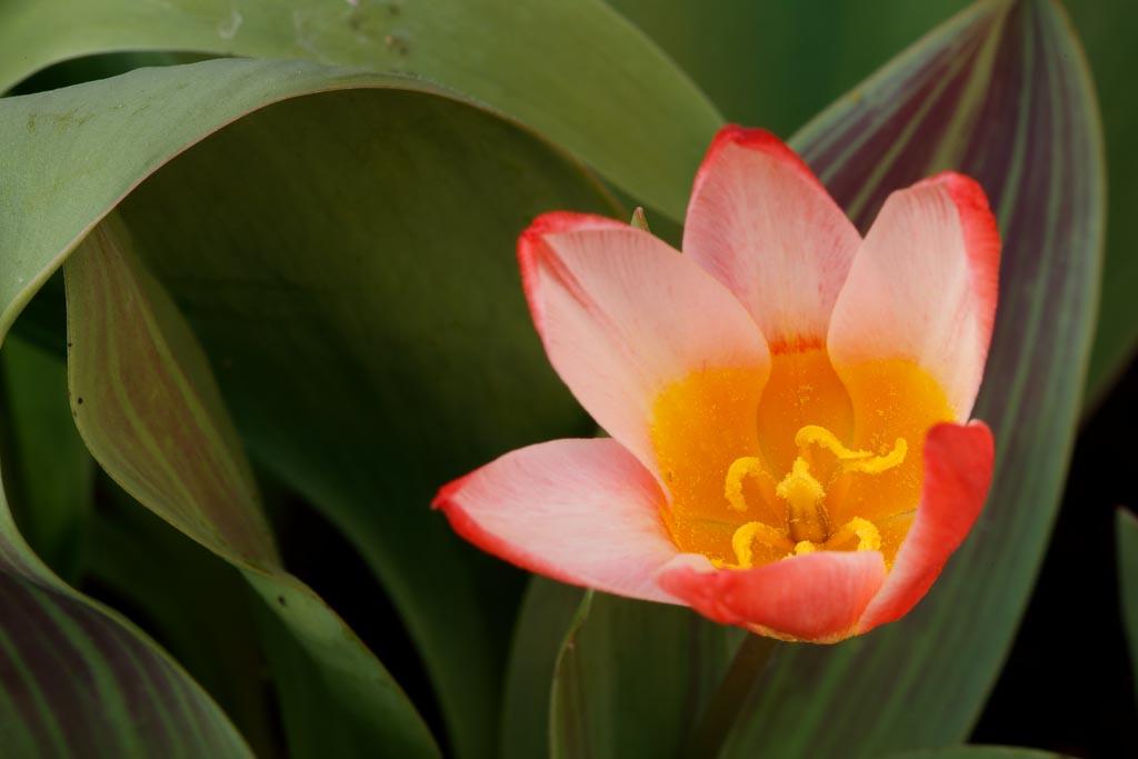 IMAGE: http://www.ware.myzen.co.uk/GalleryPics/Photos/Flora/flora%20tulip%20flower_016_09-03-19.jpg