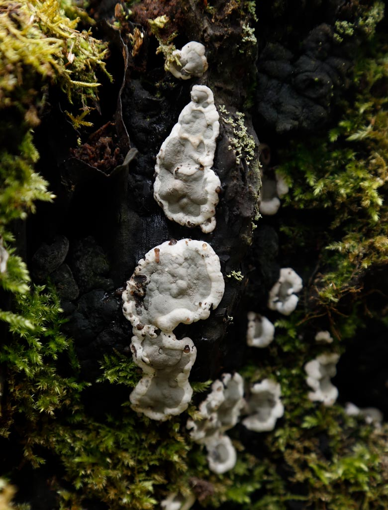 IMAGE: http://www.ware.myzen.co.uk/GalleryPics/Photos/Fungi/fungi%20Flat%20Grey%20A01_001_17-04-18.jpg