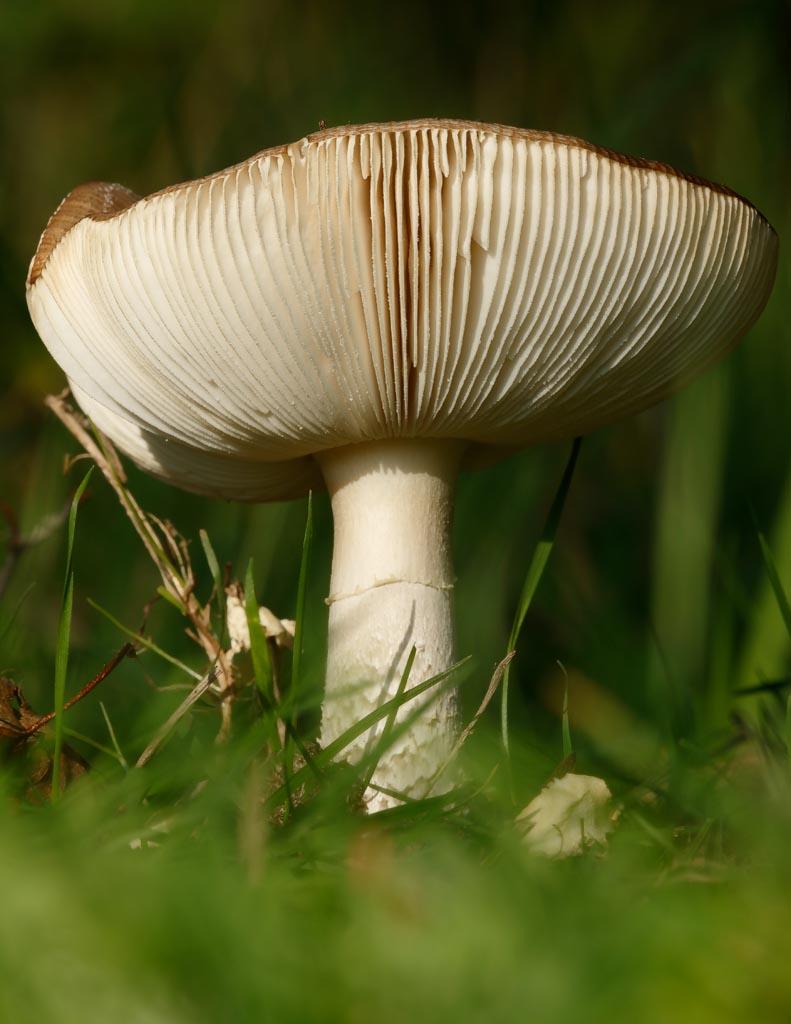 IMAGE: http://www.ware.myzen.co.uk/GalleryPics/Photos/Fungi/fungi%20Mushroom%20A01_001_13-09-20.jpg