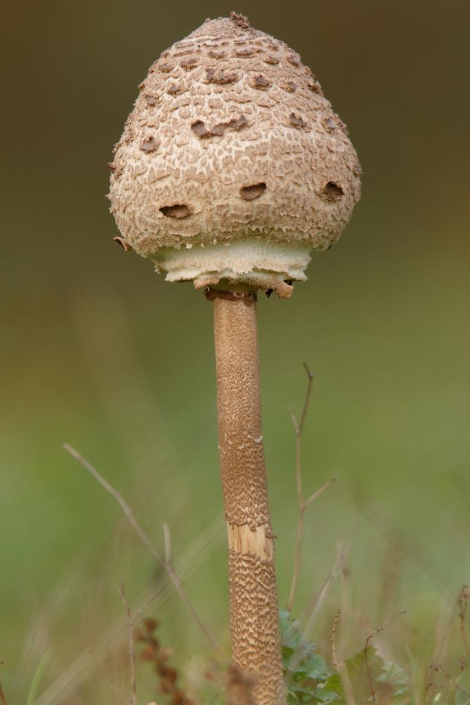 IMAGE: http://www.ware.myzen.co.uk/GalleryPics/Photos/Fungi/fungi%20Shaggy%20Parasol%20Mush%20A01_002_16-10-17.jpg