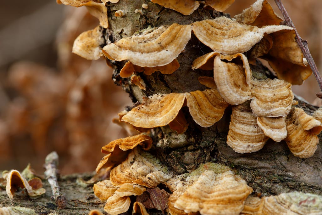 IMAGE: http://www.ware.myzen.co.uk/GalleryPics/Photos/Fungi/fungi%20breaket%20A01_001_28-10-17.jpg