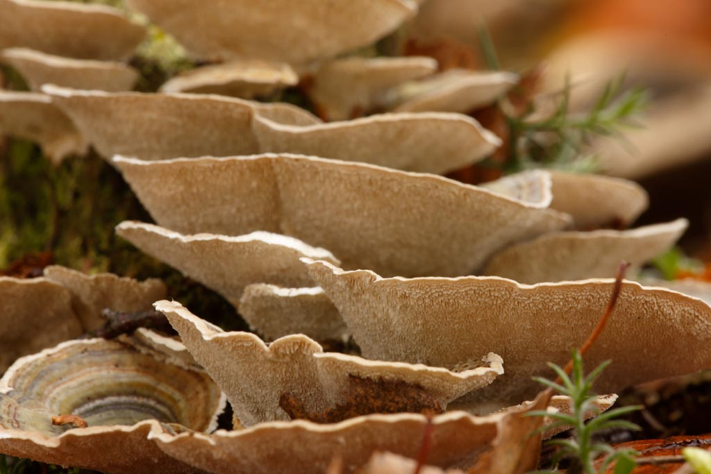 IMAGE: http://www.ware.myzen.co.uk/GalleryPics/Photos/Fungi/fungi%20breaket%20E01_001_28-10-17.jpg