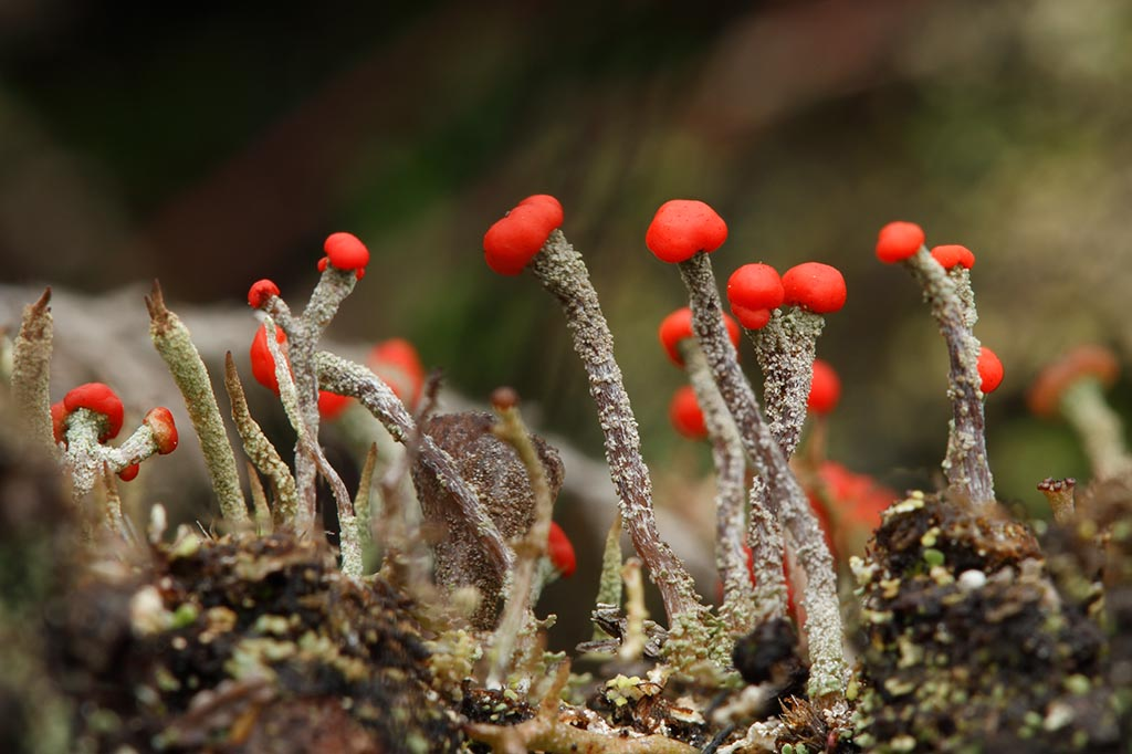 IMAGE: http://www.ware.myzen.co.uk/GalleryPics/Photos/Fungi/fungi%20lichen%20fruiting%20body%20B_001-02_31-12-11.jpg