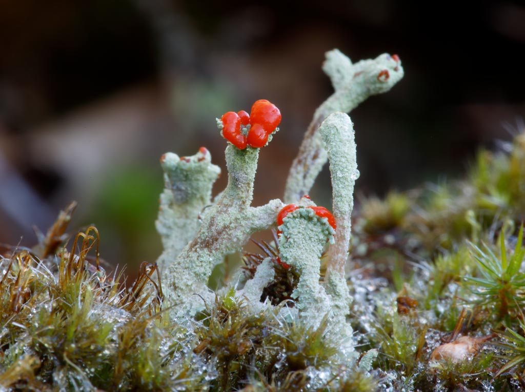 IMAGE: http://www.ware.myzen.co.uk/GalleryPics/Photos/Fungi/fungi%20lichen%20podipedia%20A01_001_25-11-17.jpg