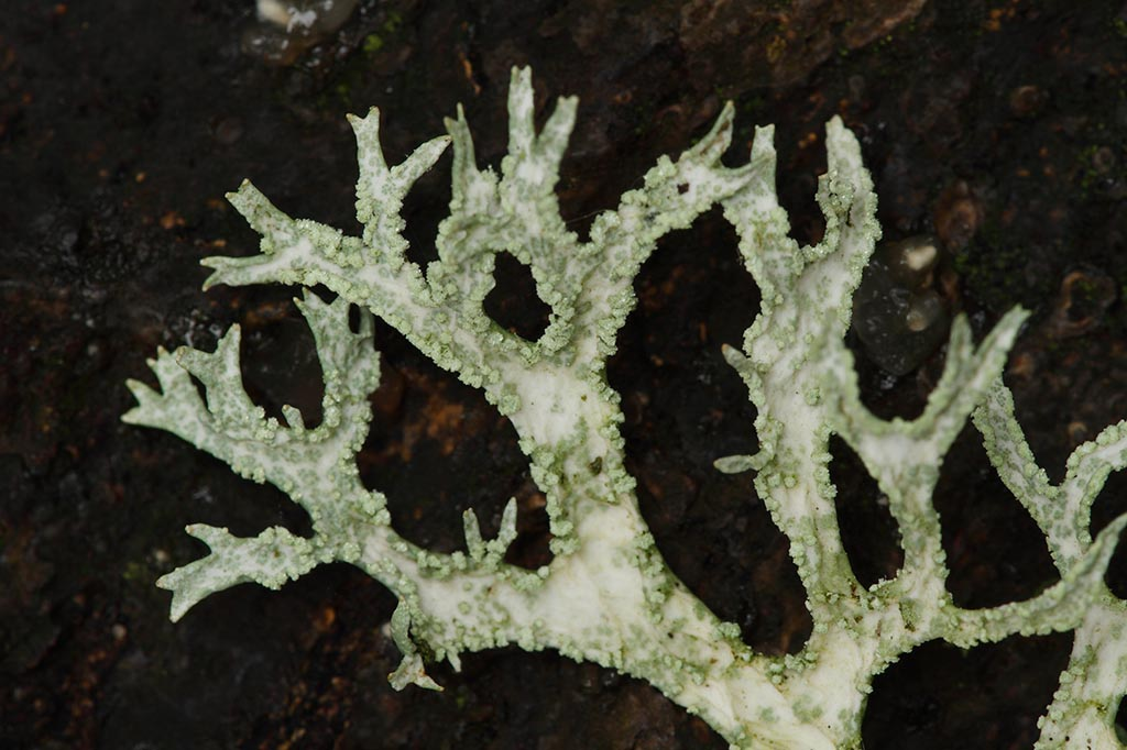 IMAGE: http://www.ware.myzen.co.uk/GalleryPics/Photos/Fungi/fungi%20lichen_001_05-11-11.jpg