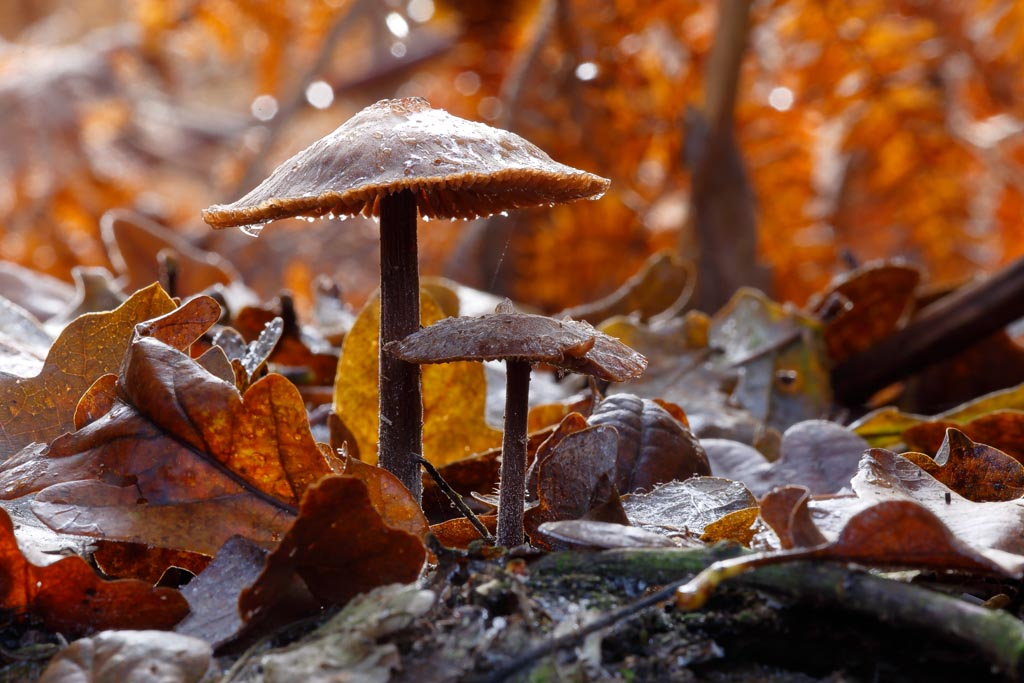 IMAGE: http://www.ware.myzen.co.uk/GalleryPics/Photos/Fungi/fungi%20mushroom%20D_001_30-11-19.jpg