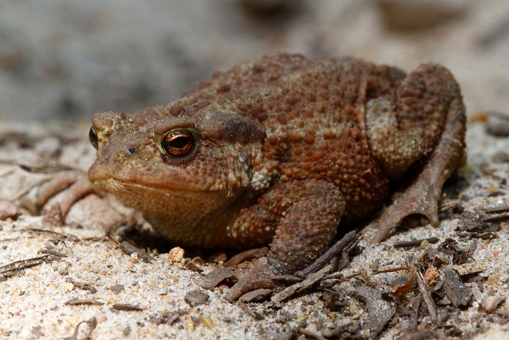 wild Toad A01_001_30-06-18.jpg