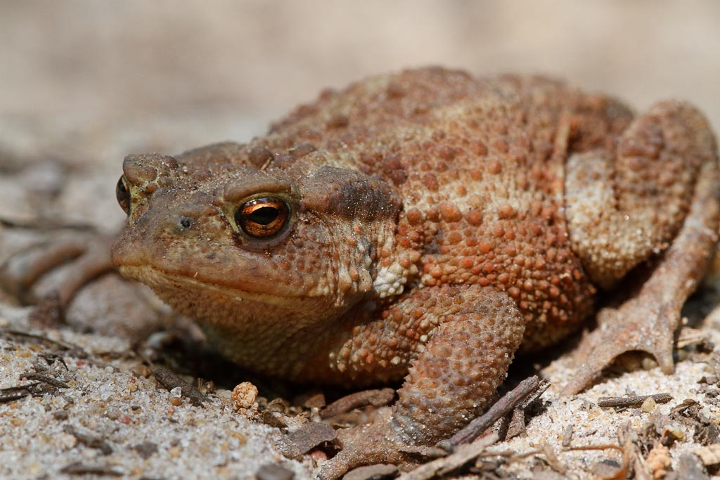 wild Toad A02_001-04_30-06-18.jpg