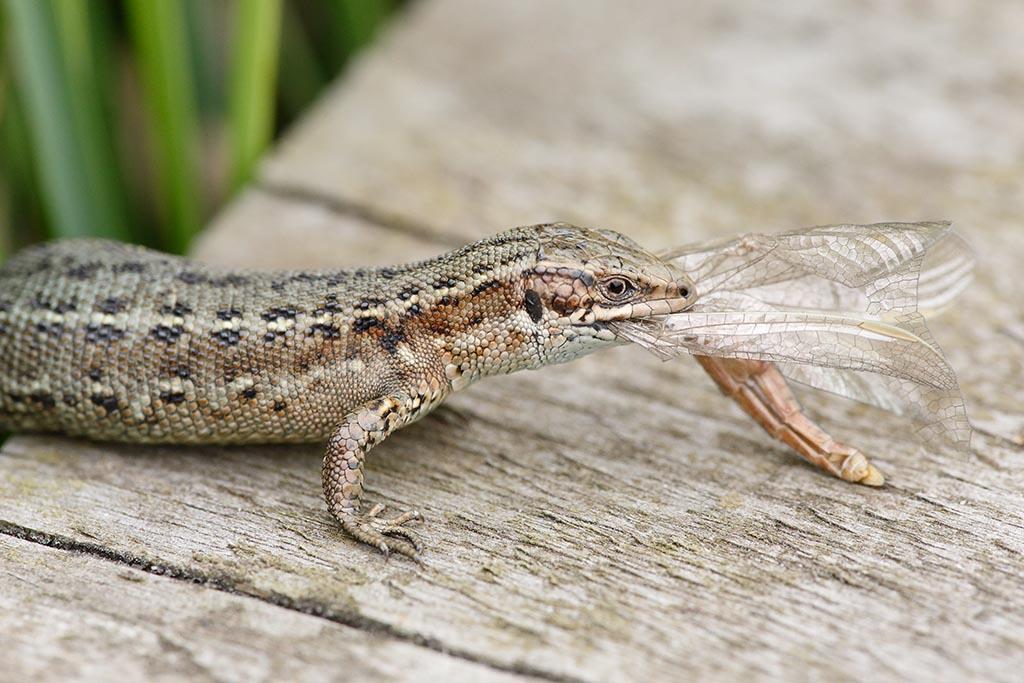 IMAGE: http://www.ware.myzen.co.uk/GalleryPics/Photos/Wildlife/Reptiles/wiildlife%206D%20vip%20Liz%20a%20prey%20A2_15-06-12_002.jpg