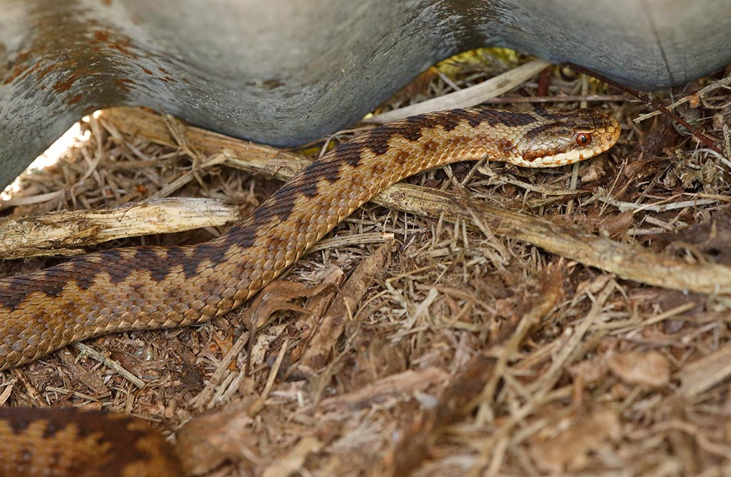 IMAGE: http://www.ware.myzen.co.uk/GalleryPics/Photos/Wildlife/Reptiles/wildlife%206D%20adder%20f%20A_14-06-08_003.jpg
