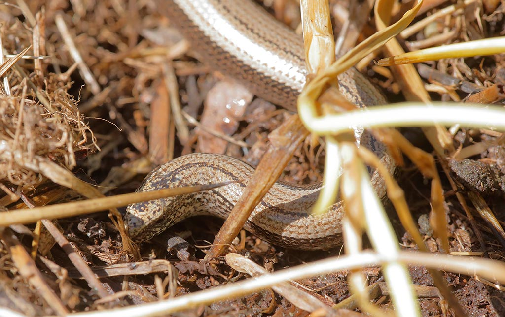 IMAGE: http://www.ware.myzen.co.uk/GalleryPics/Photos/Wildlife/Reptiles/wildlife%206D%20slow-worm%20A_14-06-08_002.jpg