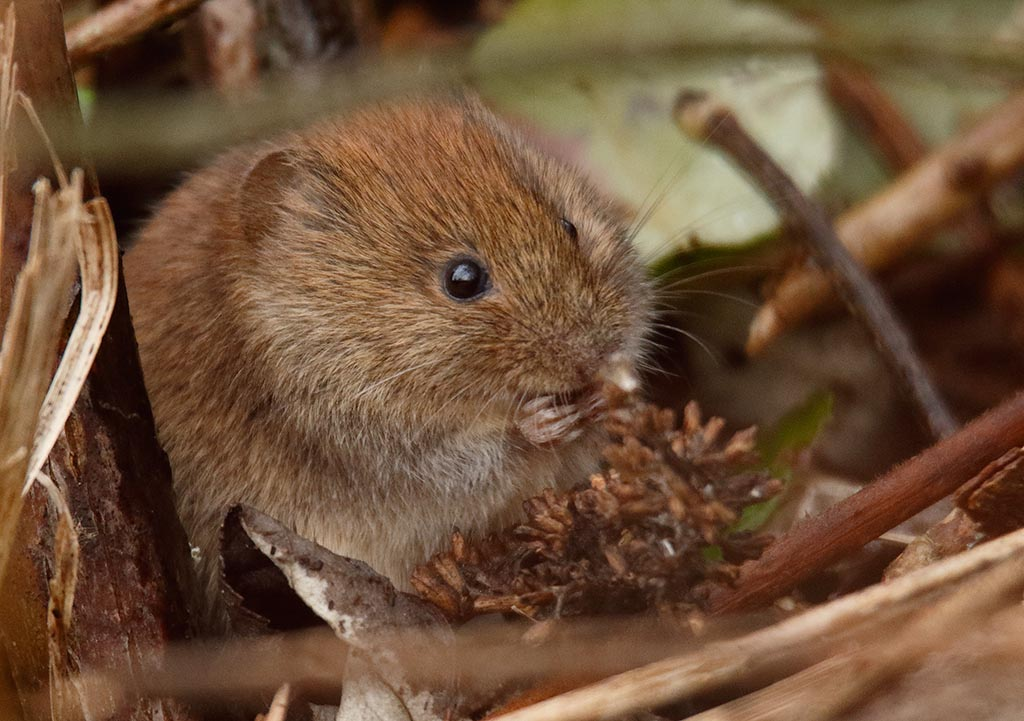 IMAGE: http://www.ware.myzen.co.uk/GalleryPics/Photos/Wildlife/Rodents/wild%20Bank%20Vole%20A_007_11-02-17.jpg