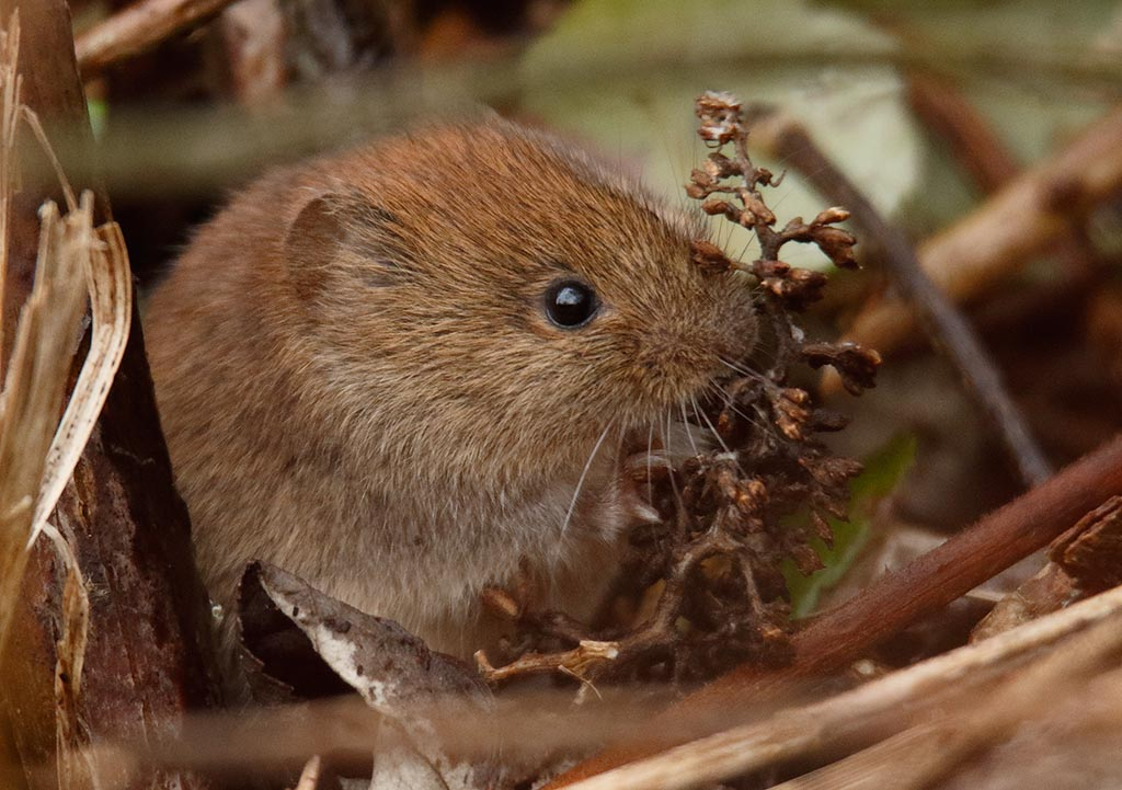 IMAGE: http://www.ware.myzen.co.uk/GalleryPics/Photos/Wildlife/Rodents/wild%20Bank%20Vole%20A_010_11-02-17.jpg