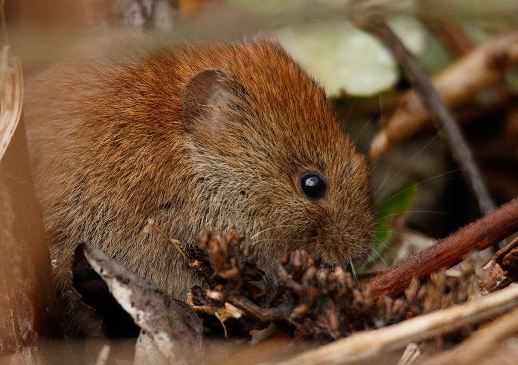 IMAGE: http://www.ware.myzen.co.uk/GalleryPics/Photos/Wildlife/Rodents/wild%20Bank%20Vole%20A_014_11-02-17.jpg