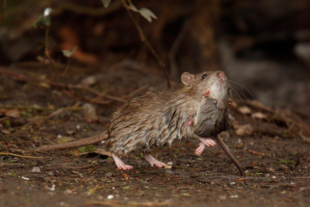 IMAGE: http://www.ware.myzen.co.uk/GalleryPics/Photos/Wildlife/Rodents/wild%20Mother%20Rat%20A02_005_18-02-18.jpg
