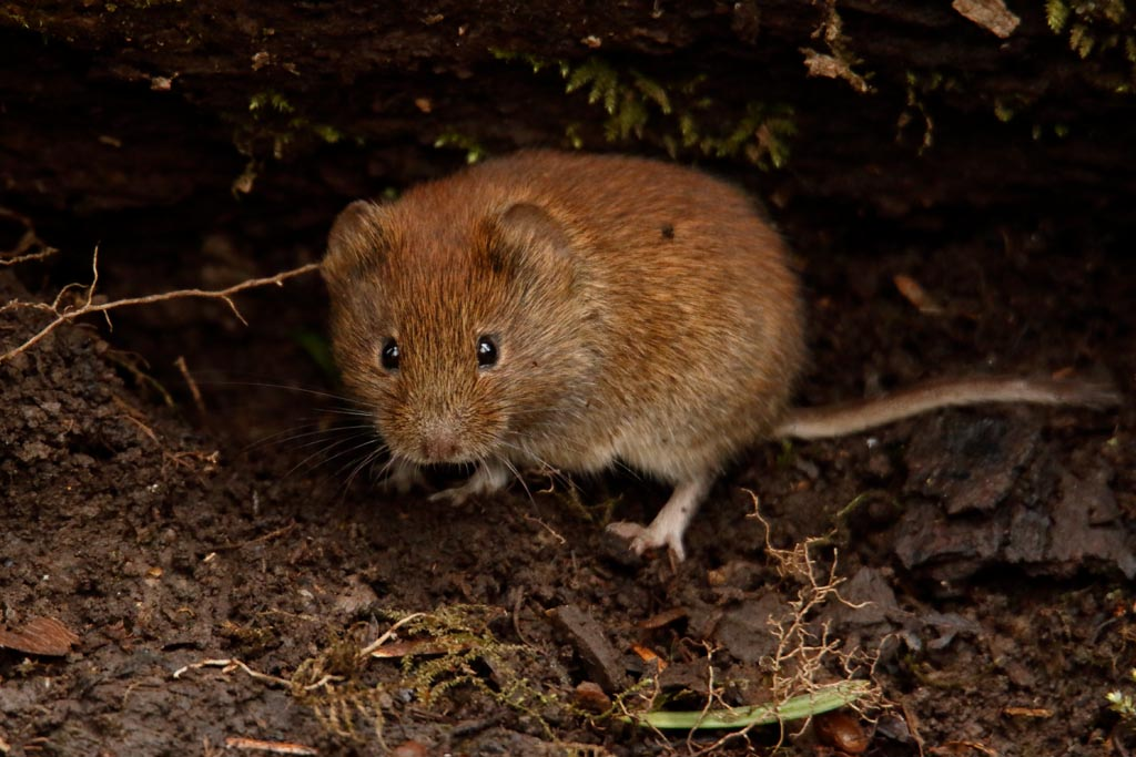 IMAGE: http://www.ware.myzen.co.uk/GalleryPics/Photos/Wildlife/Rodents/wild%20bank%20vole%20A02_001_05-03-18.jpg