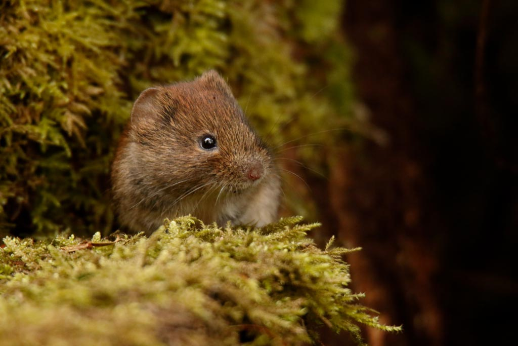 IMAGE: http://www.ware.myzen.co.uk/GalleryPics/Photos/Wildlife/Rodents/wild%20bank%20vole%20A03_001_05-03-18.jpg