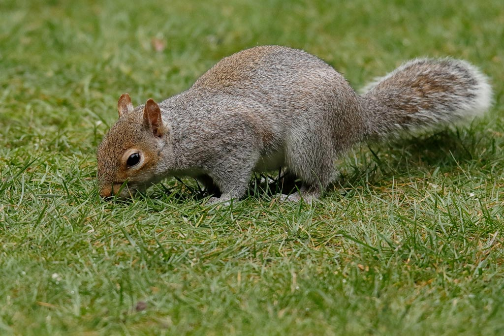 IMAGE: http://www.ware.myzen.co.uk/GalleryPics/Photos/Wildlife/Rodents/wild%20g%20squirrel%20A01_002_08-03-19.jpg