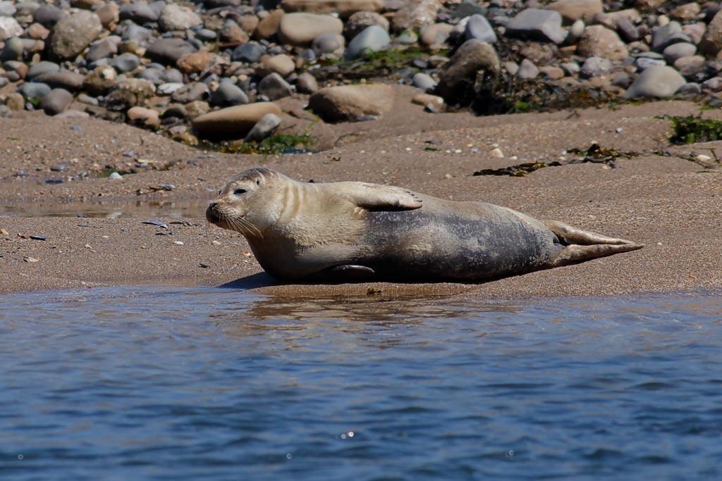IMAGE: http://www.ware.myzen.co.uk/GalleryPics/Photos/Wildlife/Sea%20Mammals/wild%20seal%20A0_003_11-06-18.jpg